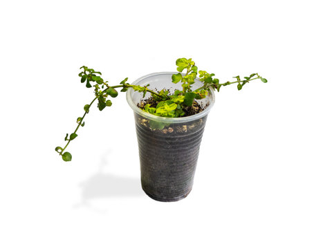 dichondra sprout one can transparent beautiful shaped