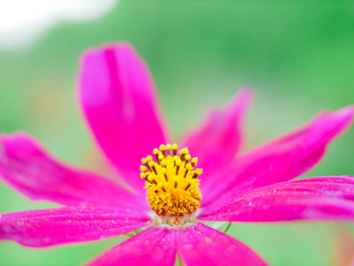 Poster Rose Pink cosmos flower blooming macro cosmos flower field, beautiful vivid natural summer garden outdoor park image.