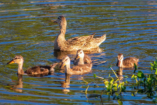 Mother duck swimming with ducklings, Waterfowl, Multiple offspring, Beauty in nature, Selective color orange, color toning, Royalty free stock image