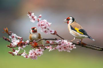 Printed roller blinds Bird Goldfinch, Carduelis carduelis, two birds in bloom