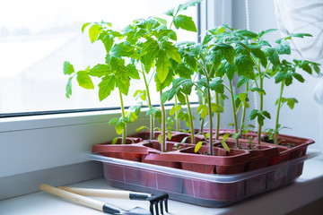 Fond de hotte en verre imprimé Papillons Young tomato seedlings in pots on white window. How to growing food at home on windowsill. sprouts green plant and home gardening
