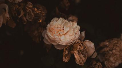 Fotobehang rose in the garden