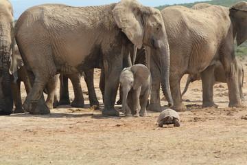 Elefantenbaby mit Schildkröte oder unter Riesen