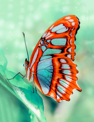 Poster Vlinder Closeup beautiful butterfly Malachite (Siproeta stelenes) in a summer garden