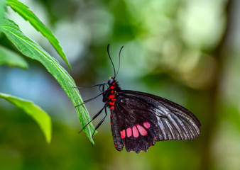 Poster Vlinder Beautiful butterfly ( Parides aglaope )on flower in a summer garden