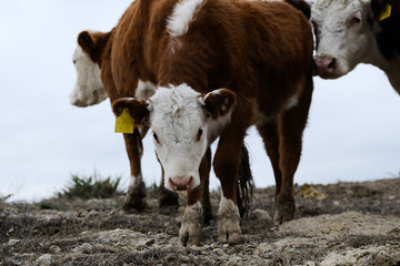 Wall Mural - Curious Hereford calf looking at camera within herd on beef cow farm, overcast gray skies in background.
