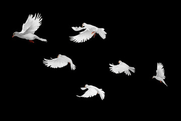 Foto En Lienzo - White doves group flying on black background and Clipping path .freedom concept and international day of peace