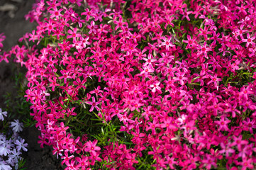 pink phlox subulata flowers flowers grow on a personal plot.