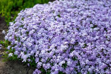 Phlox subulata flowers flowers grow on a personal plot.