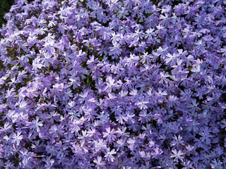 Phlox subulata flowers then grow very densely in nature.