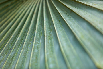 Latania-Palme (Latania loddigesii) in Costa Rica