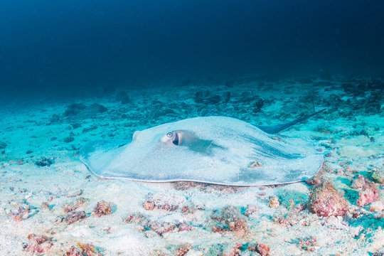 A Pink Whipray hidden by sand on the ocean floor of a tropical coral reef