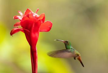 Braunschwanzamazilie (Amazilia tzacatl) in Costa Rica