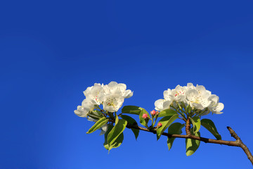 Białe kwiaty na gałęźi drzewa, na tle niebieskiego nieba, błękitne niebo.