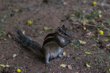 Close up of indian palm squirrel in the garden eating seeds in Sagar, Madhya Pradesh, India