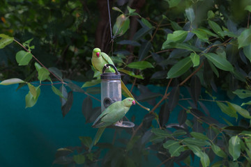 Two indian ring neck parrots eating from a bird feeder in Sagar, Madhya Pradesh, India