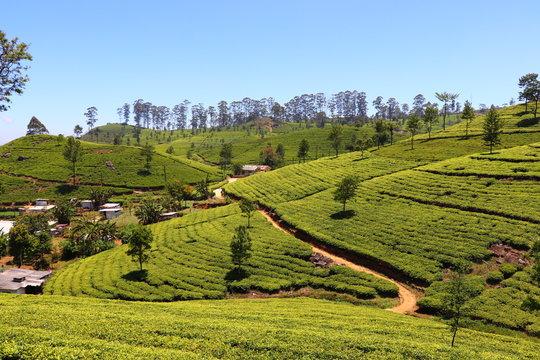Paysage Plantations de thé Lipton's Seat Haputale Sri Lanka