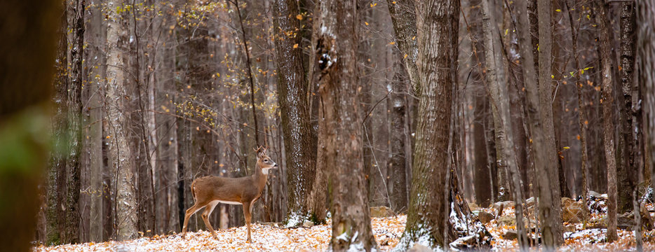 Adult white-tailed  deer buck during the Wisconsin rut in November, panoramic