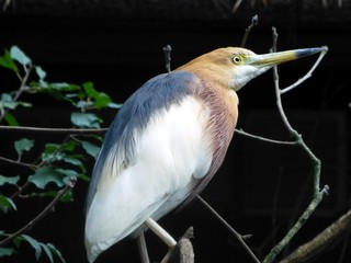 The Javan pond heron (Ardeola speciosa) is a wading bird of the heron family, found in shallow fresh and salt-water wetlands in Southeast Asia.