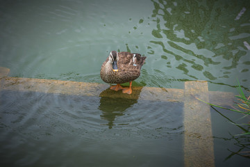 Duck cleans feathers pond in Ueno park