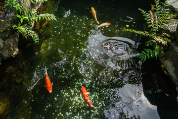 Multi-colored carps swim in the pond of Ueno Park in Tokyo on a sunny August day