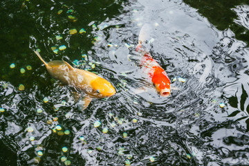 Multi-colored large carps swim in the pond of Ueno Park in Tokyo on a August day