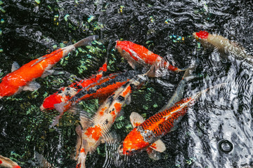Multi-colored large carps swim in the pond in Tokyo on a sunny August day
