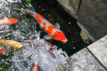 Multi-colored large carps swim in the pond of Ueno Park in Tokyo in summer