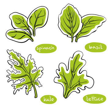 Spinach, basil, lettuce, kale leaves. Colorful line sketch collection of vegetables and herbs isolated on white background. Doodle hand drawn vegetable icons. Vector illustration