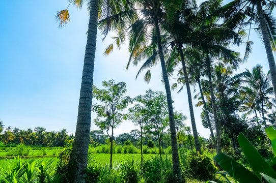 Palm tree lined rice paddies Bali Indonesia