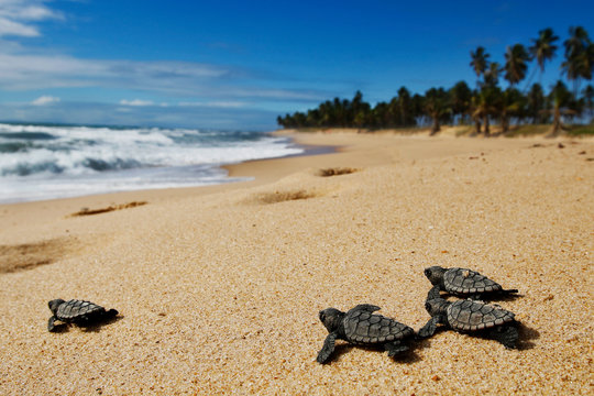 Group of hatchling hawksbill sea turtle (Eretmochelys imbricata) crawling on the sand at the beach to the sea after leaving the nest at Bahia coast, Brazil,  with coconut palm tree background