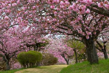 八重桜の桜のトンネル(静峰公園 茨城県 日本)と満開に咲いた八重桜