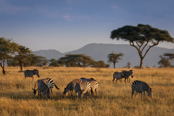 Canvas Prints Zebra African zebras at beautiful landscape during sunrise safari in the Serengeti National Park. Tanzania. Wild nature of Africa..