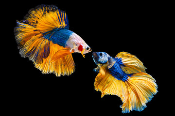 Foto op Plexiglas Vissen The moving moment beautiful of yellow and blue siamese betta fish or fancy betta splendens fighting fish in thailand on isolated black background. Thailand called Pla-kad or half moon biting fish.
