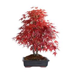 Papiers peints Bonsai beautiful japonese maple in autumn colors