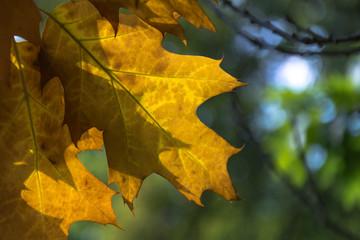 Obraz prześwitujący żółty liść dębu - fototapety do salonu
