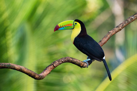 Ramphastos sulfuratus, Keel-billed toucan The bird is perched on the branch in nice wildlife natural environment of Costa Rica..