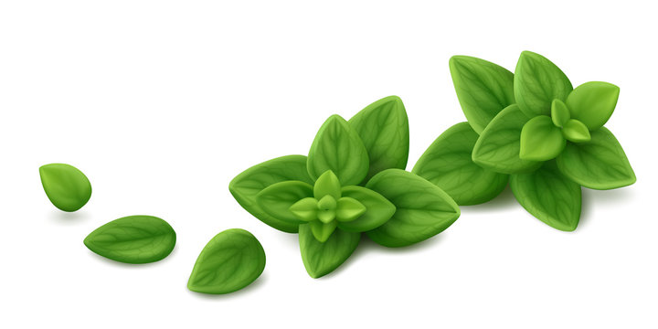 Two sprigs of fresh oregano (Origanum syriacum) with three single leaves isolated on white background. Realistic vector illustration.