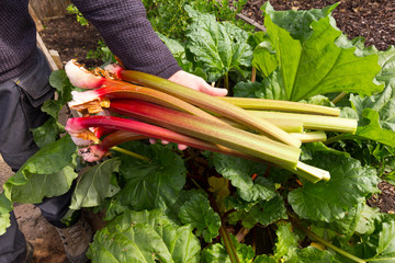 Gardener with freshly picked rhubarb - standing next to rhubarb plant on an allotment