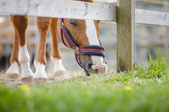 closeup portrait of young chestnut budyonny gelding horse  with white line on face in halter eating grass near fence in paddock in spring daytime