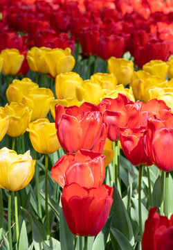 Red. Yellow. Tulips. Flowers. Nature. Garden. Flora