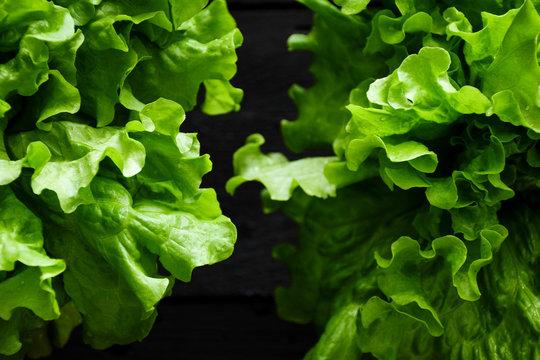 Close-up fresh green leaf lettuce or loose-leaf lettuce on black background with copyspace