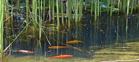 Fototapeta Cztery karpie Koi pływające w oczku wodnym obraz