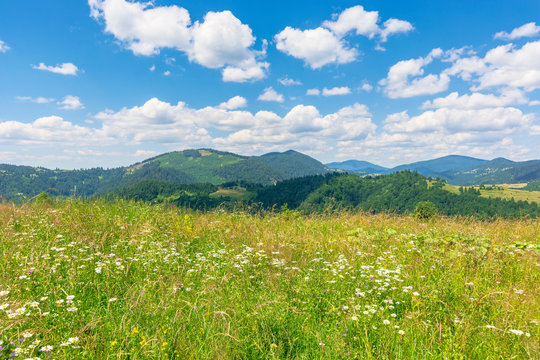 summer scenery of mountainous countryside. alpine hay fields with wild herbs on rolling hills at high noon. forested mountain ridge in the distance beneath a blue sky with fluffy clouds. nature beauty