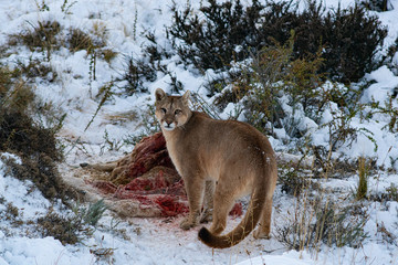 Puma in the wild in Torres del paine National Park, approaching the body of a dead guanaco to feed, during the winter surrounded by snow