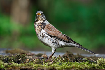 thrush the Fieldfare near the water in spring against the background of greenery Fototapete
