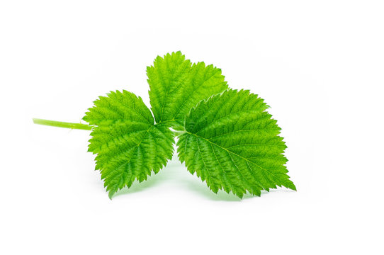 Fresh stinging nettle leaves isolated on white background, healthy food , alternative medicine for skin care ( urtica )