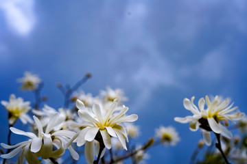 White magnolia on a background of a stormy sky