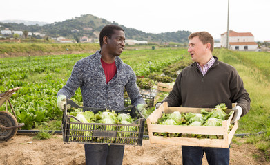 Farmers carrying boxes with lettuce