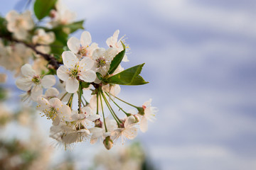 Obraz Białe kwiaty na tle niebieskiego nieba. Zielone liście. Kwitnące drzewo owocowe. - fototapety do salonu